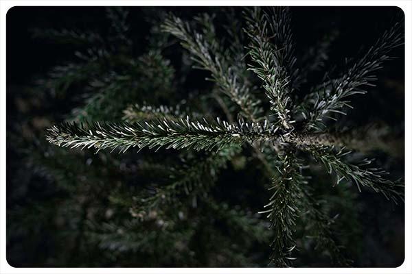 madera blanda pino akampando